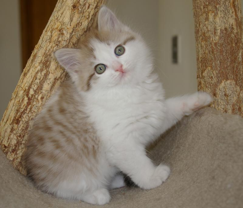 RagaMuffin Kittens RagaMuffin Cat