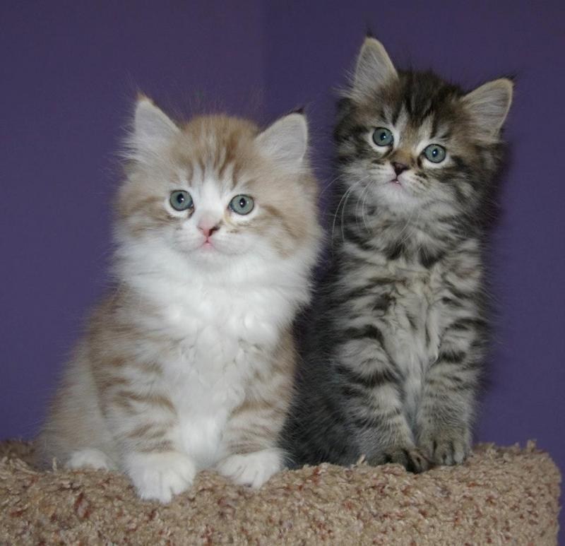 RagaMuffin Kittens RagaMuffin Cats Imperial Rags